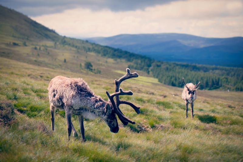 Reindeer Landscape