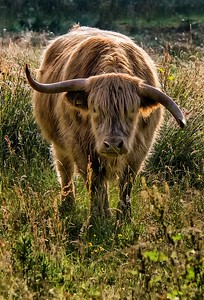 Richards___A Skeptical Scottish Steer