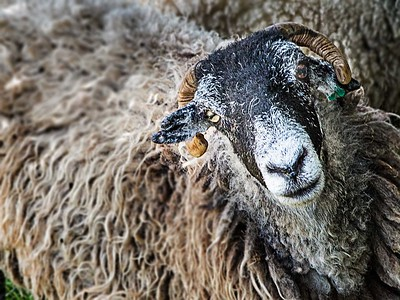 Kemmerer_A Dirty Ragged Old English Sheep with a Stare
