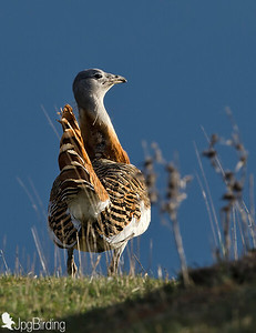 Great Bustard - Full day in hide.