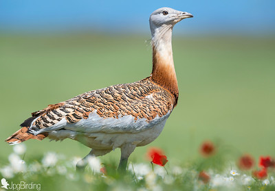 Great Bustard - image taken at hides of Calera y Choras - Toledo-Spain