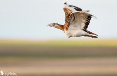Great Bustard (Otis tarda)