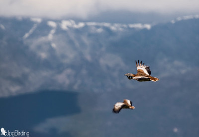 Great Bustard - couple in flight over Gredos mountain