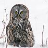 04 Great Gray Owl, NW of Calgary, Alberta, 28 February 2016