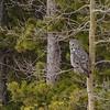 01 Great Gray Owl, NW of Calgary, Alberta, 28 February 2016