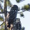09 Great Gray Owl, NW of Calgary, Alberta, 13 March 2016