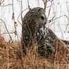 06 Great Gray Owl, NW of Calgary, Alberta, 28 February 2016