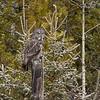 10 Great Gray Owl, NW of Calgary, Alberta, 15 March 2016