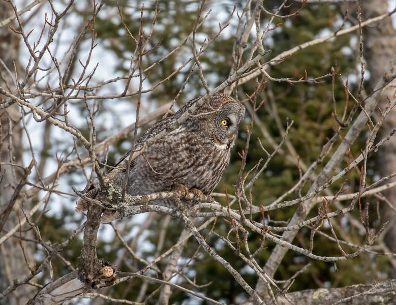 Great Gray Owl 6 (1-26-2018)