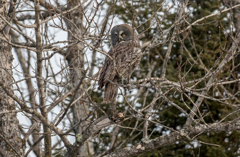 Great Gray Owl 4 (1-26-2018)