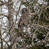 Great Gray Owl 4 (1-26-2018)
