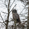 Great Gray Owl 2 (1-26-2018)