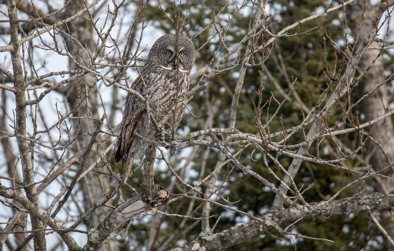 Great Gray Owl 3 (1-26-2018)