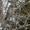 Great Gray Owl 3 (1-26-2018)