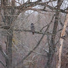 Great Gray Owl 9 (1-26-2018)