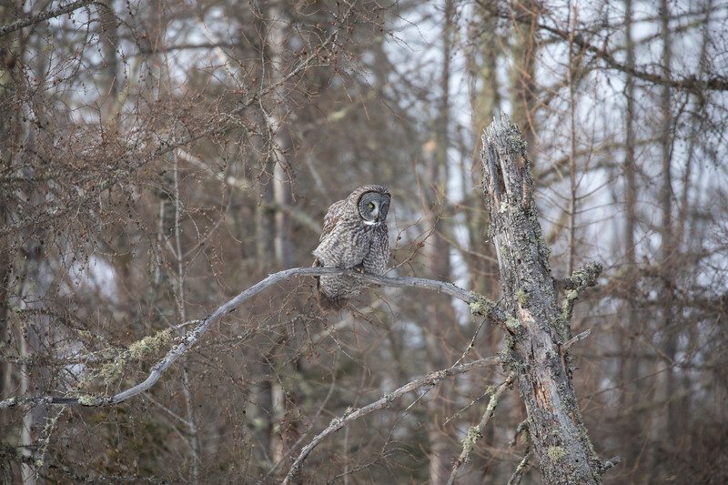 Great Gray Owl 33 (1-29-2018)