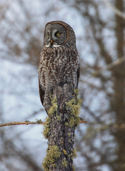 Great Gray Owl 53 (1-29-2018)