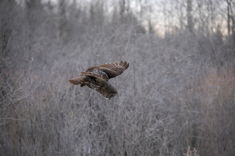 Great Gray Owl 7 (1-29-2018)