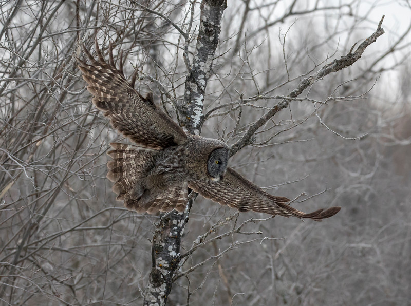 Great Gray Owl 5b (1-29-2018)