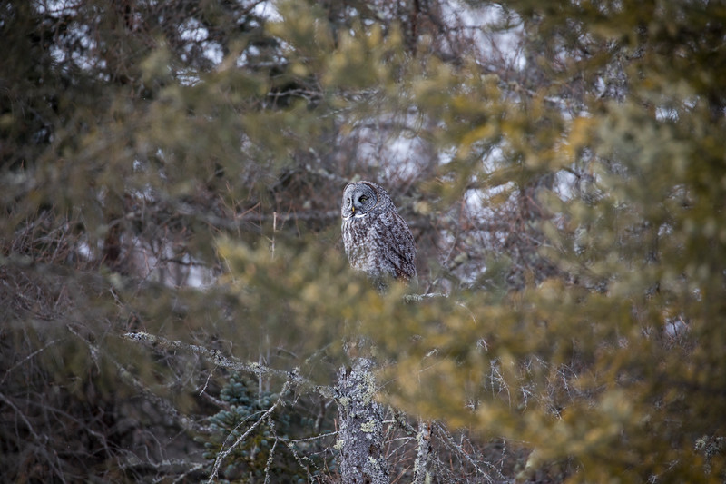 Great Gray Owl 54 (1-29-2018)