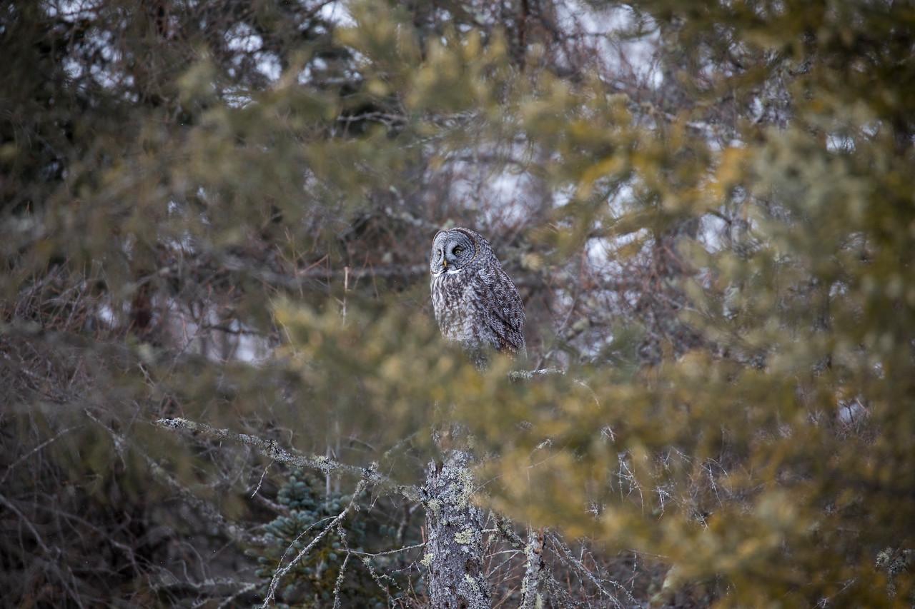 Great Gray Owl 54 (1-29-2018)
