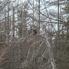 Great Gray Owl 44 (1-29-2018)