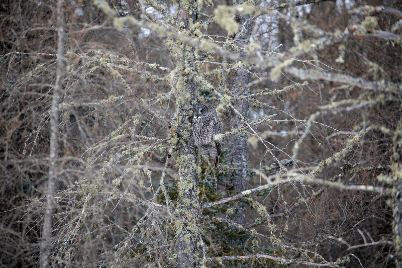 Great Gray Owl 56 (1-29-2018)