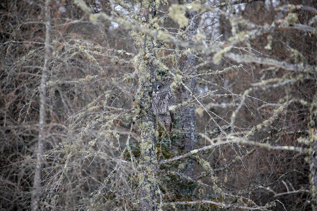 Great Gray Owl 56 (1-29-2018)