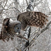 Great Gray Owl 2b (1-29-2018)