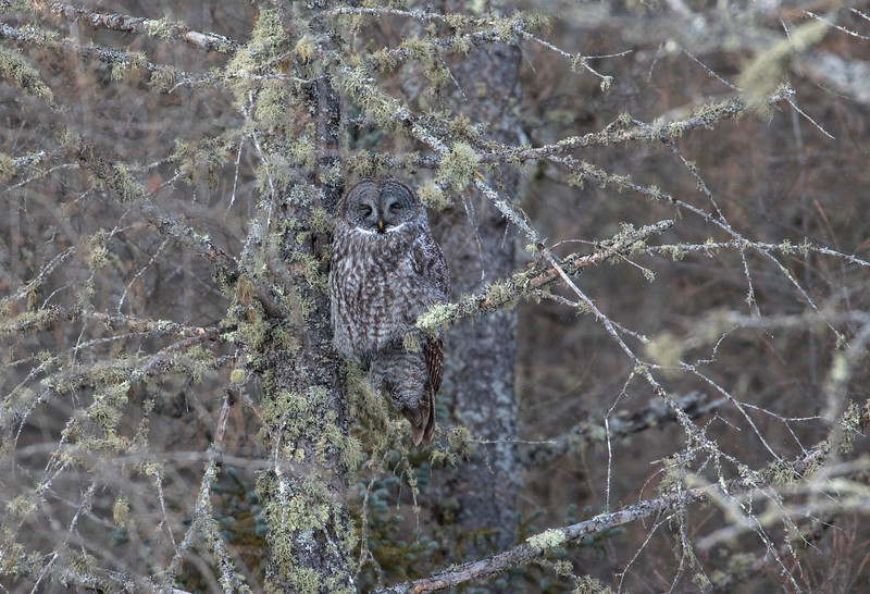 Great Gray Owl 58 (1-29-2018)
