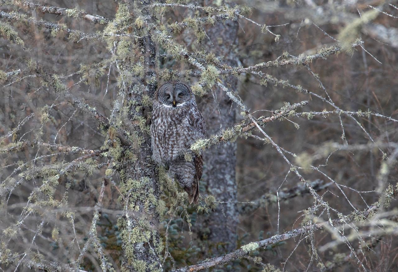 Great Gray Owl 58 (1-29-2018)