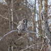 Great Gray Owl 34 (1-29-2018)