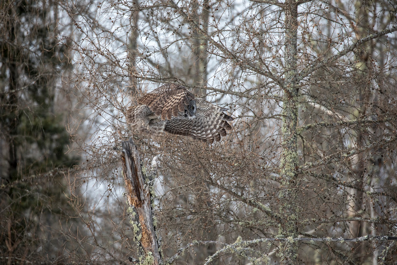 Great Gray Owl 28 (1-29-2018)