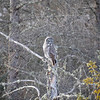 Great Gray Owl 68 (1-29-2018)