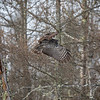 Great Gray Owl 30 (1-29-2018)