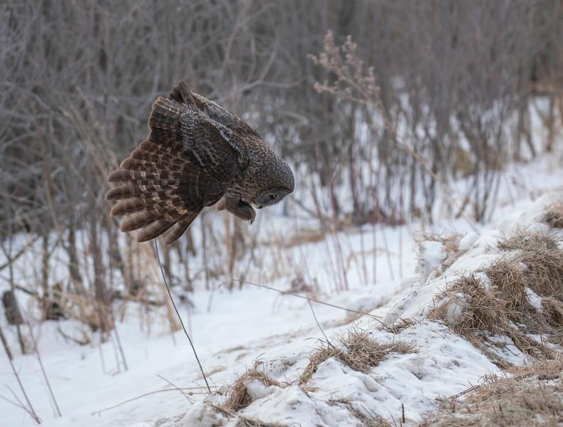 Great Gray Owl 9 (1-29-2018)