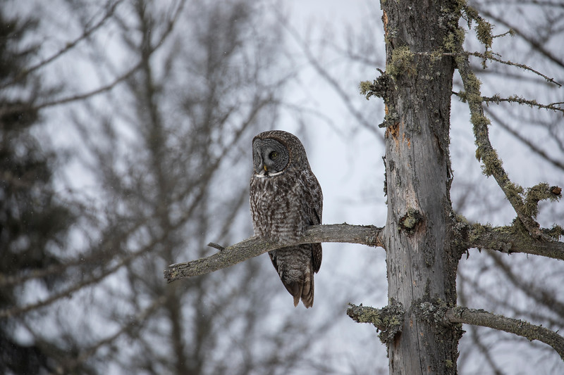 Great Gray Owl 19 (1-29-2018)