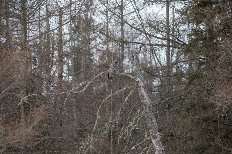 Great Gray Owl 41 (1-29-2018)