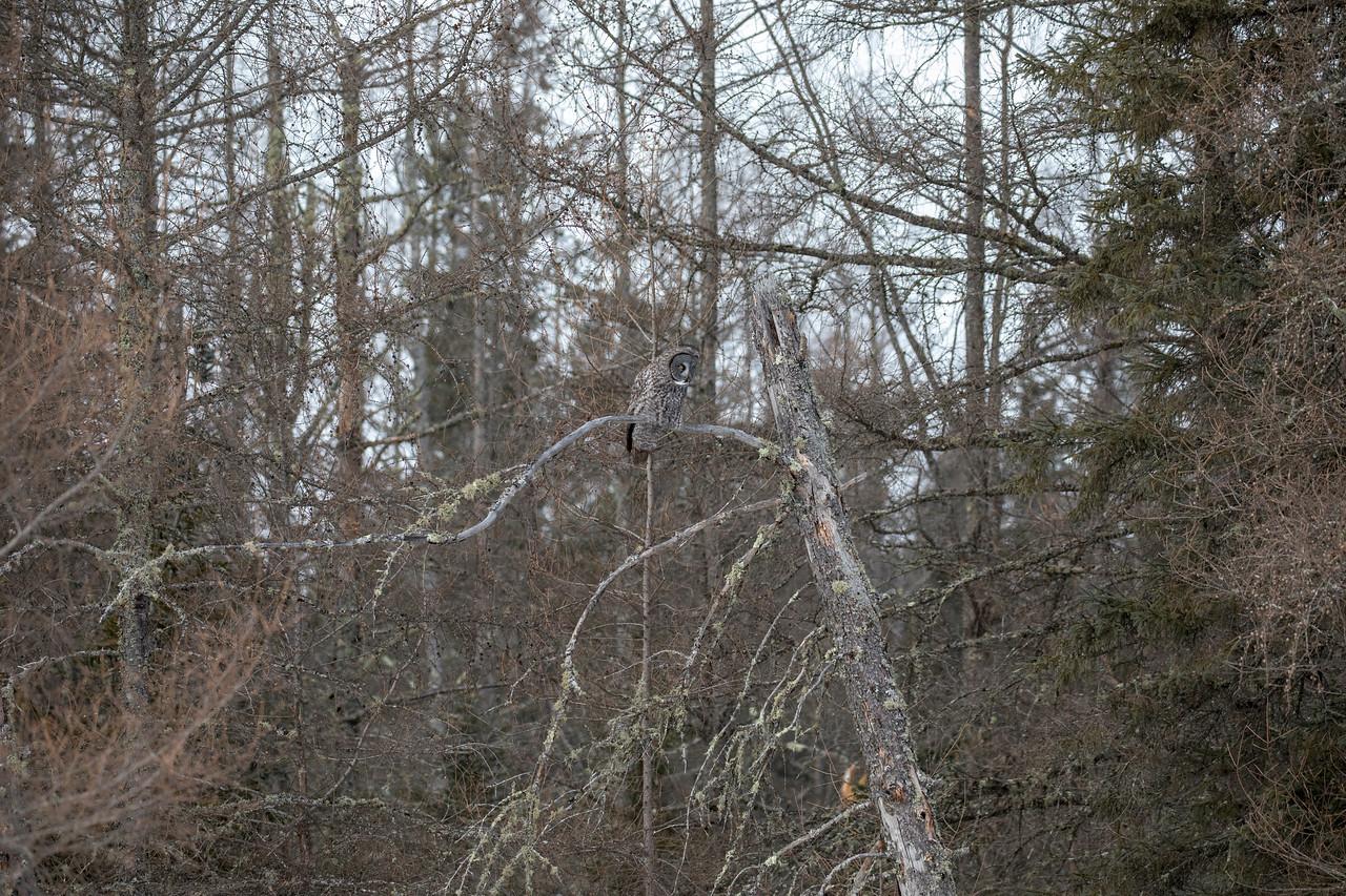Great Gray Owl 41 (1-29-2018)
