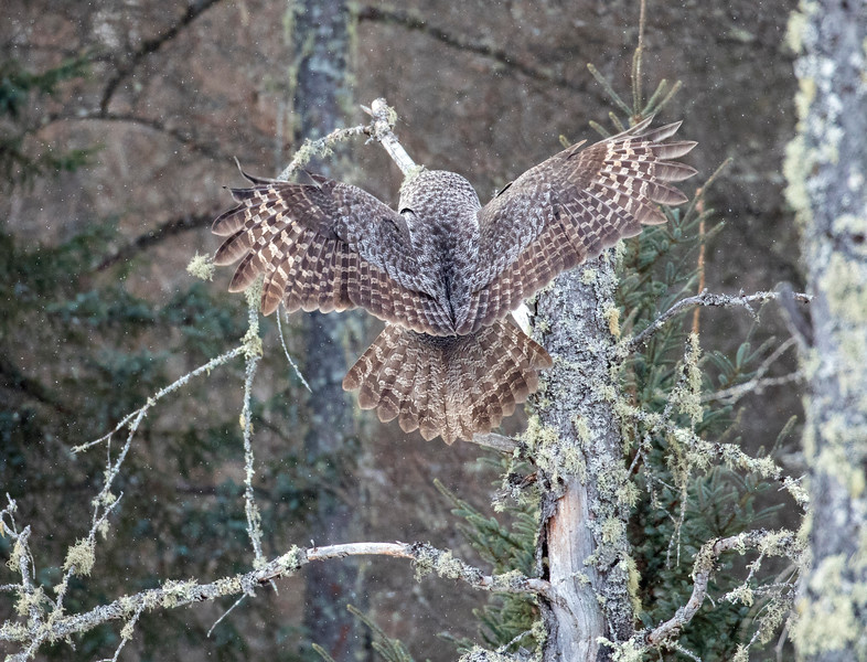 Great Gray Owl 66 (1-29-2018)