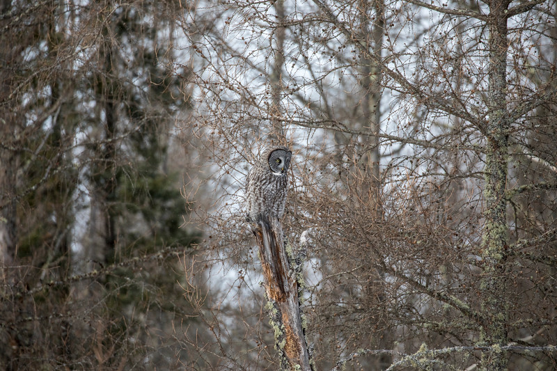 Great Gray Owl 26 (1-29-2018)