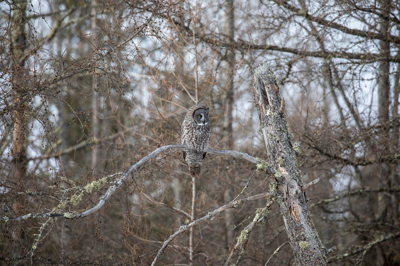 Great Gray Owl 36 (1-29-2018)