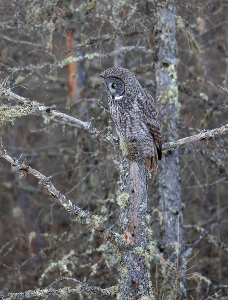 Great Gray Owl 60 (1-29-2018)