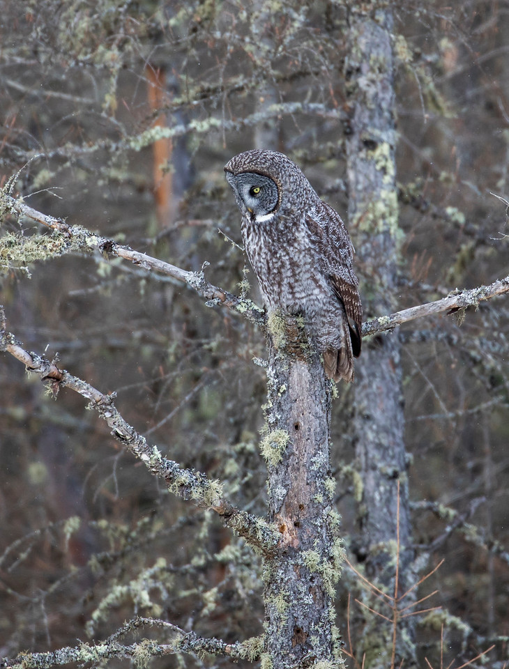 Great Gray Owl 60 (1-29-2018)