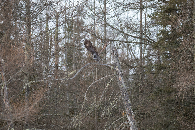 Great Gray Owl 43 (1-29-2018)