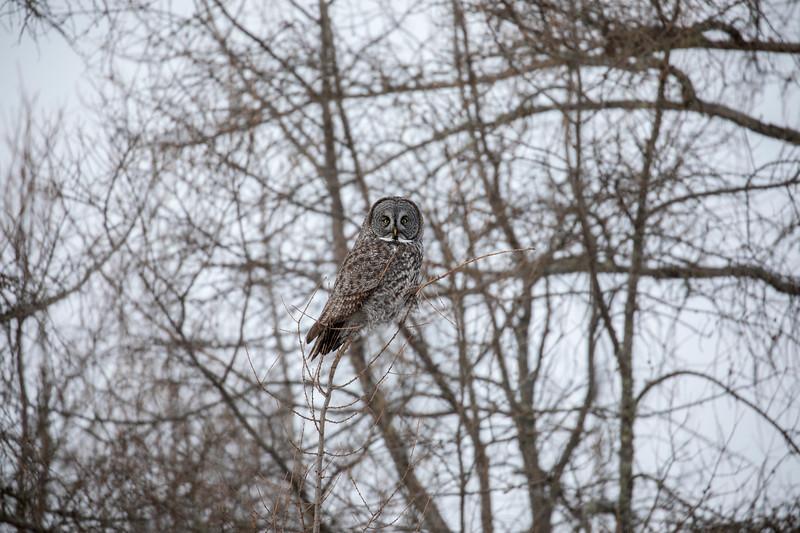 Great Gray Owl 22 (1-29-2018)