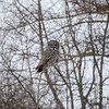 Great Gray Owl 22 (1-29-2018)