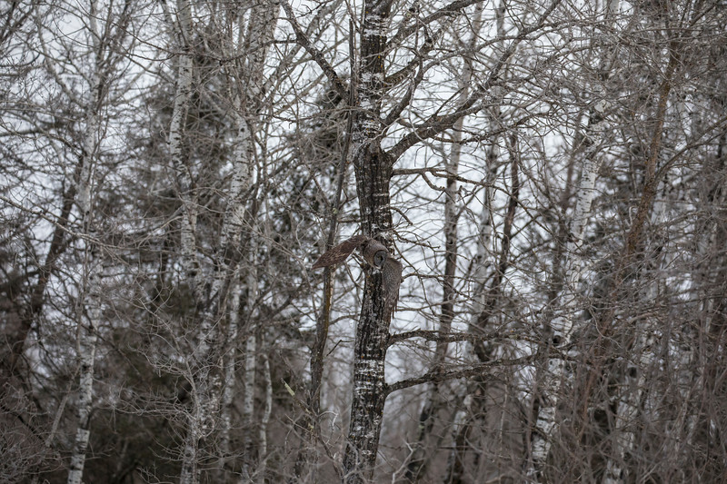 Great Gray Owl 16 (1-29-2018)