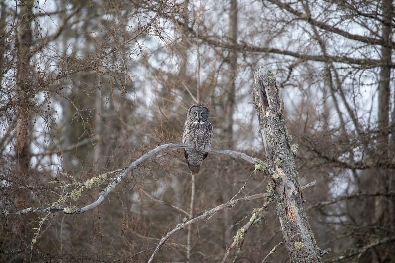 Great Gray Owl 42 (1-29-2018)