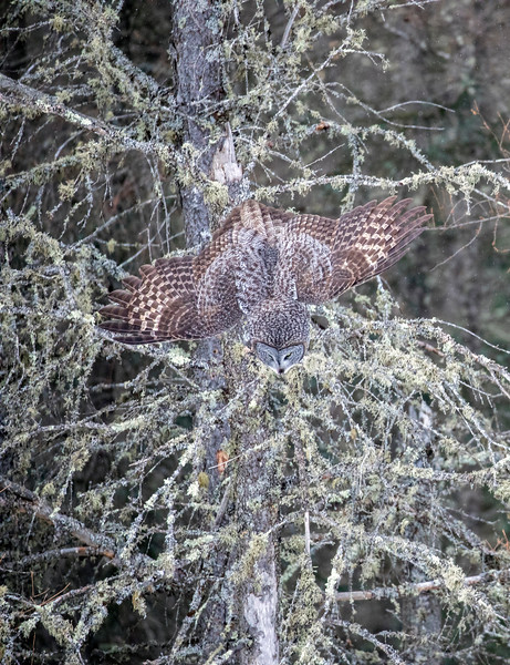 Great Gray Owl 63 (1-29-2018)